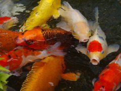 Široký výběr okrasných ryb v naší prodejně