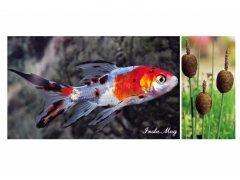 Výprodej okrasných ryb a vodních květin