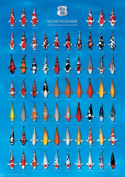 KOI kapr poster 66 (plakát) - Dárky, suvenýry KOI Plakáty