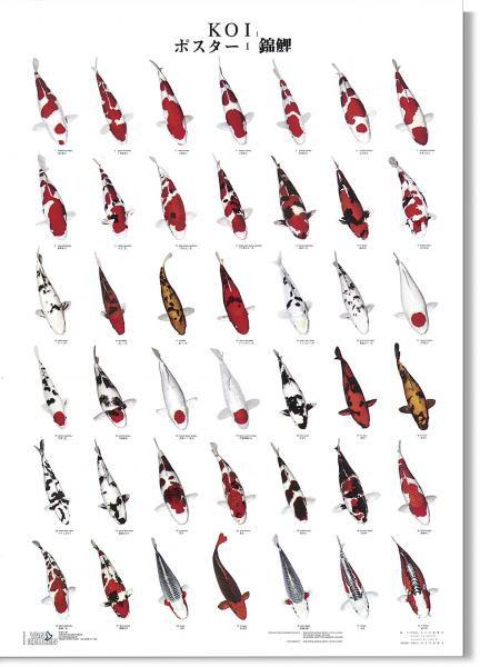 KOI kapr poster (plakát 1. díl) - Dárky, suvenýry KOI Plakáty