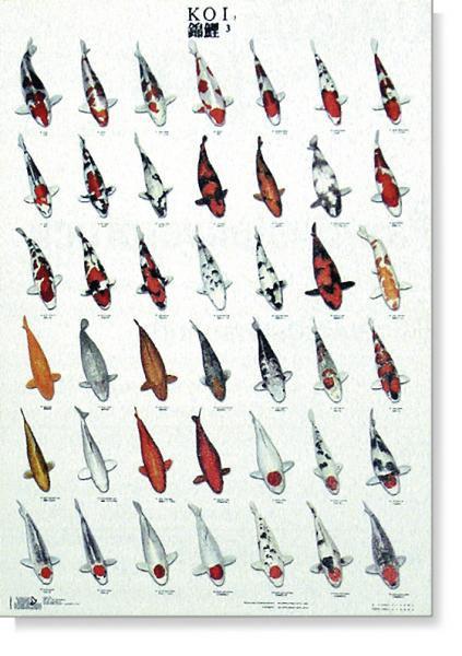 KOI kapr poster (plakát 3. díl) - Dárky, suvenýry KOI Plakáty