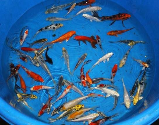 KOI kapr - Cyprinus carpio koi (10-12cm) - Ryby a potřeby pro ryby KOI, jeseteři, ostatní okrasné ryby