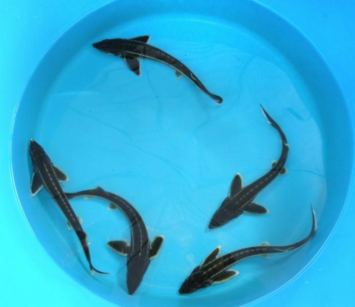Jeseter hvězdnatý - Acipenser stellatus (60-70cm) - Ryby a potřeby pro ryby KOI, jeseteři, ostatní okrasné ryby