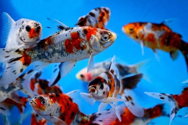 Schubunkin-Carassius auratus gibbosus (12-16cm) - Ryby a potřeby pro ryby KOI, jeseteři, ostatní okrasné ryby