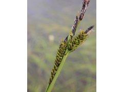 Ostřice obecná - Carex nigra