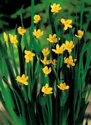 Badil kalifornský - Sisyrinchium californicum - Zahradní a vodní doplňky Vodní rostliny