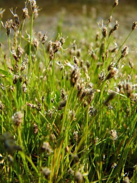 Bahnička jehlovitá - Eleocharis acicularis - Zahradní a vodní doplňky Vodní rostliny