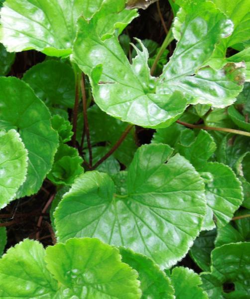 Barota - Gunnera Magellanica - Zahradní a vodní doplňky Vodní rostliny