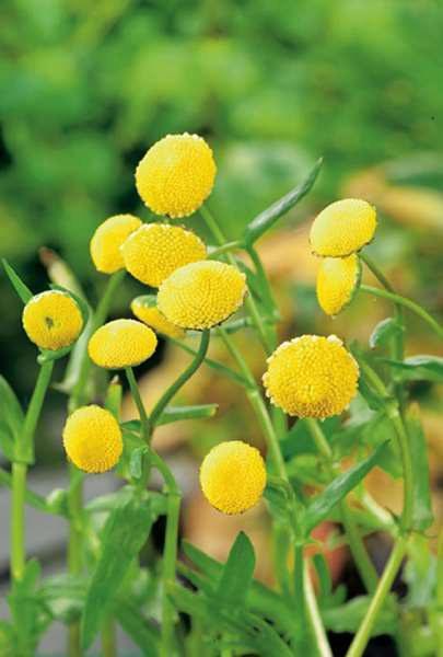 Mechovec - Cotula coronopifolia - Zahradní a vodní doplňky Vodní rostliny