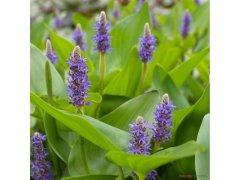 Modráska kopinatá - Pontederia lanceolata