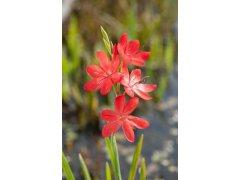 Říční lilie Major - Schizostylis coccinea Major