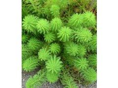 Stolístek vodní - myriophyllum proserpinacoides