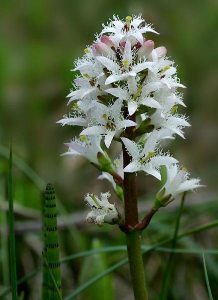 Vachta trojlistá - Menyanthes trifoliata - Zahradní a vodní doplňky Vodní rostliny