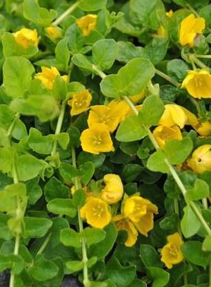 Vrbina penízková - Lysimachia nummularia - Zahradní a vodní doplňky Vodní rostliny