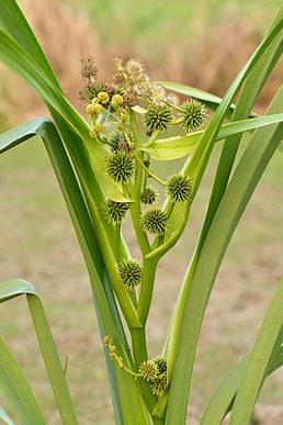 Zevar vzpřímený - Sparganium erectum - Zahradní a vodní doplňky Vodní rostliny